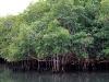 k-mangroven
