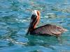 k-pelican